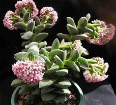 Crassula 'Spring Time'