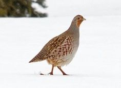 Gray Partridge Photo