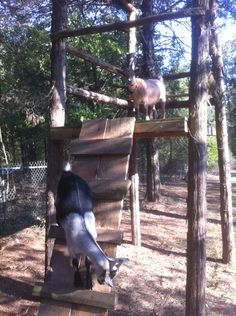 Goats in the tree house