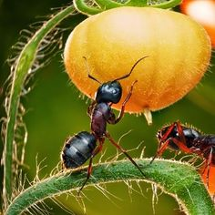 Get Rid of Ants in Your Vegetable Garden | Mike the Gardener | #prepbloggers #ants