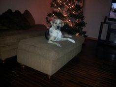 """Minnie """"Hoots Catahoulas"""" see us on fb puppies for sale"""