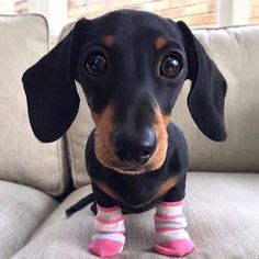 Cute dachshund with pink socks💗 Best Puppies, Cute Puppies, Dogs And Puppies, Doggies, Baby Animals, Funny Animals, Cute Animals, Baby Dachshund, Daschund