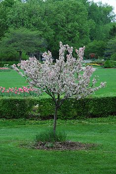 Find Coralburst Flowering Crab (Malus 'Coralburst') in Cary Crystal Lake Algonquin Barrington Zurich Fox Illinois IL at The Barn Nursery and Landscape Center (Roseybloom, Crabapple) Types Of Soil, Types Of Plants, Fragrant Roses, Pomes, Full Size Photo, Trees And Shrubs, Dwarf Trees, Landscape Services