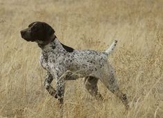 German Shorthaired Pointers in Colorado - German Shorthaired Pointers in Peyton/Elbert, Colorado - ACC Ranch & Kennels - Gun Dog Breeder Classified Ads