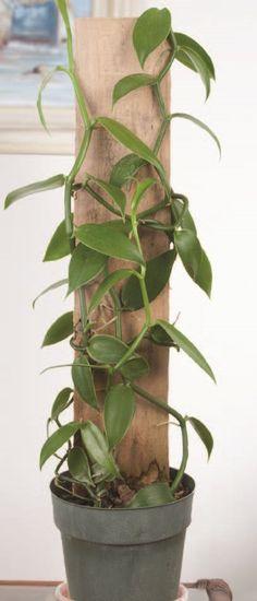 Vanilla on Wooden Totem (Vanilla planifolia)