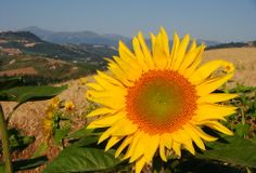 Sunflowers in the field below our holiday home in Le Marche Italy.