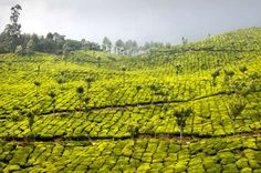 The hills of Kolukkumalai are home to the highest tea plantations in the world, according to Kerala ... - Shutterstock