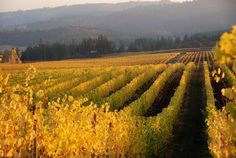 Fall afternoon at Bethel Heights Vineyard: The fruit has been picked and the vineyards turn an opulent golden color as fall arrives in Willamette Valley wine country. Photo: Terry Casteel