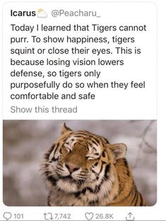 Today I learned that Tigers cannot purr. To show happiness, tigers squint or close their eyes. This is because losing vision lowers defense, so tigers only purposefully do so when they feel comfortable and safe Show this thread - iFunny :) Cute Little Animals, Cute Funny Animals, Funny Cute, Cute Cats, Funny Animal Memes, Cat Memes, Funny Jokes, Animal Facts, Cute Creatures