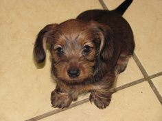 Dorkie.....dachshund /yorkie...    i want this dog just for the name haha