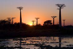 Baobabs (Adansonia Grandidieri) at sunrise, Morondava, Madagascar