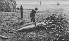 Giant Squid  Catalina (Courtesy Lovecraft Museum Natural History)    Google Image Result for http://amydenby.files.wordpress.com/2012/09/giant_squid_catalina2.png