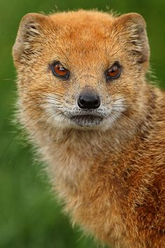 Yellow Mongoose by YorkshireWP on Flickr.