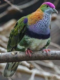 Superb Fruit-Dove (Ptilinopus superbus)