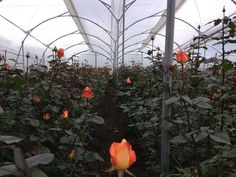 Inside the rose farm. More information can be found at www.agrocoex.com!
