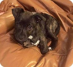 New Albany, OH - Boxer/German Shepherd Dog Mix. Meet Bruno, a puppy for adoption. http://www.adoptapet.com/pet/18136458-new-albany-ohio-boxer-mix