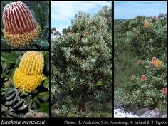 Banksia menziesii (dwarf). Tree or shrub, 1.5m high x 1.5m wide, usually arising from lignotuber or epicormic buds. Fl. pink/red/yellow, Feb to Oct. White, grey or yellow sand. Full sun/part shade