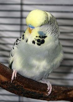 Yellowfaced gray pied male English budgie