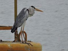Grey Heron @ Marina Bay