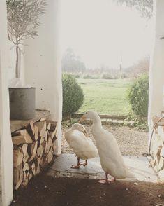 Two gorgeous white ducks on the homestead.