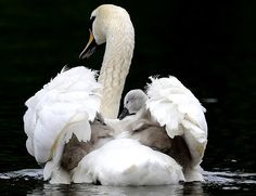 Mute swan embracing cygnets with her wings.