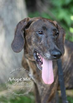 Hamlet Pet ID: 873291    This is one VERY handsome plot hound who is CALM! This boy does not jump, did not bark, and is super affectionate. He is a love bug who just wants to be where you are. The volunteers are in awe of this guy! Hamlet's leash skills are off the charts. You won't even know he's beside you. No pulling and no tugging. This is a super dog with an amazing personality. Please make an appointment to meet this gentleman. FCHS rescued him. Still available for adoption!