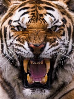 Just an angry tiger.