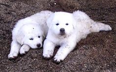 GREAT PRYNESS DOG PHOTO   GREAT PYRENEES PUPPIES