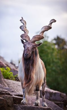 National Animal of Pakistan, Markhor, is a large species of wild goat and one of… Majestic Animals, Rare Animals, Animals Beautiful, Animals And Pets, Wild Animals, Beautiful Creatures, Animals With Horns, National Animal, Tier Fotos