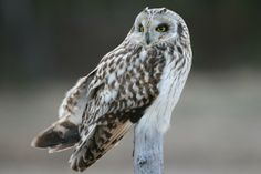 Short-eared Owl (Asio flammeus) Portrait | the Internet Bird Collection | HBW Alive