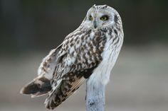 Short-eared Owl (Asio flammeus) Portrait   the Internet Bird Collection   HBW Alive