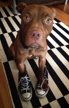 Rose/American Staffordshire Terrier Mix • Young • Female • Medium Second Chance Rescue Flushing, NY