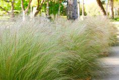 Stipa tenuissima, una gramínea perfecta para xerojardines - https://www.jardineriaon.com/stipa-tenuissima.html #plantas