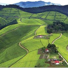 Tea plantation in Rwanda with http://www.thesafaricoltd.com/index.php/safari-catalogue/rwanda--gorillas-and-volcanos