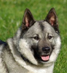 Norwegian Elkhound, National dog of Norway & our favorite breed.  Marvelous dogs!