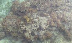 Il Pollaio delle News: A rischio estinzione le barriere coralline in Bulu...