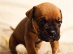 Some Helpful Ideas For Training Your Dog. Loving your dog does not mean you are willing to let him go hog wild on your possessions. That said, your dog doesn't feel the same way. Bullmastiff, Cute Puppies, Cute Dogs, Dogs And Puppies, Bulldog Puppies, Funny Dogs, Education Canine, Easiest Dogs To Train, Bullen