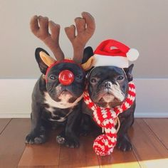 French Bulldogs in Santa and Reindeer Costumes.