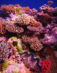 Acropora coral garden with giant clam. Raging Horn, Osprey Reef, Coral Sea