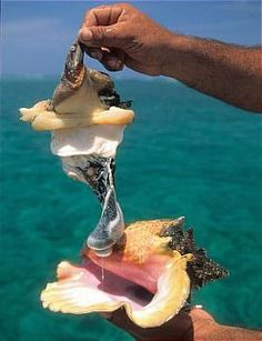 via @ilesGuadeloupe  Le lambi est un coquillage que vous devez  goûter en Guadeloupe, c'est vraiment délicieux ! Bon week end à tous ;) pic.twitter.com/7gijvU386t