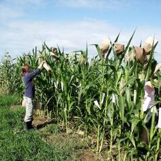 Preventing #GMO Contamination in Your Open-Pollinated #Corn via #SeedSavers