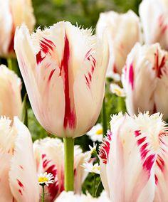 #Tulipani Carrousel