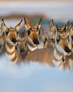 Pronghorn antelope can be found in Yellowstone National Park