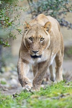 ~~Approaching lioness...by Tambako The Jaguar~~