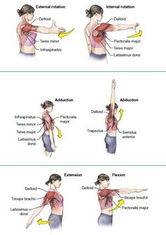 exercises for upper back rasa yoga cafe. Muscle Anatomy, Body Anatomy, Shoulder Anatomy, Upper Body Stretches, Physical Therapy Student, Medical Anatomy, Human Anatomy And Physiology, Massage Therapy, Foot Chart