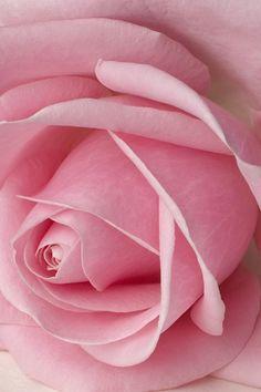 pink.quenalbertini: Rose Rose iPhone 4 Wallpaper