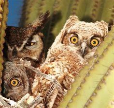 Cactus owls in Tucson, Arizona