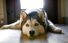 i love huskies.
