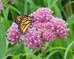 Asclepias incarnata (Swamp milkweed) - Perennial - Zones 3-9, Height 3-4 ft. One of the most beautiful of native perennials with clusters of upturned pink flowers in June and July. Much underused in average garden conditions! Attracts butterflies of all kinds.