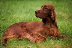 There is not another breed of dog as pretty as the Setter.